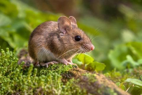 sone con ratones significado