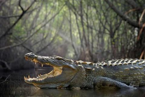 sone con cocodrilos significado