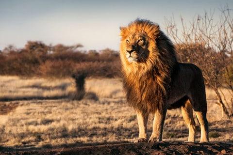 sone con leonesr significado