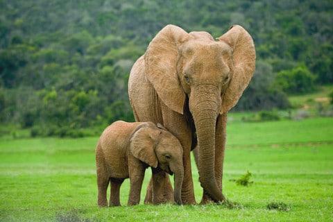 sone con elefantes significado