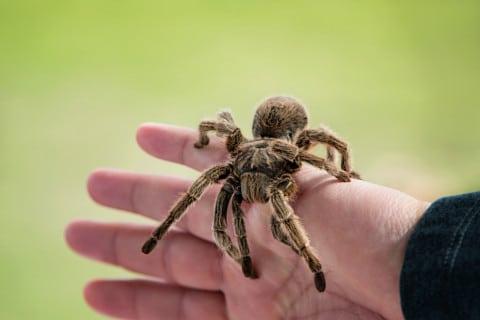 sone con tarantulas que significa