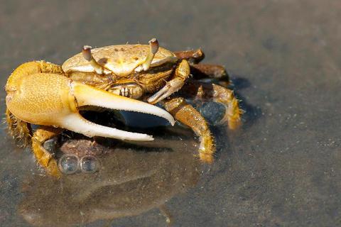 sonar-con-cangrejos