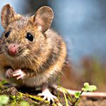 Qué significa soñar con ratones