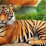 Qué significa soñar con tigres